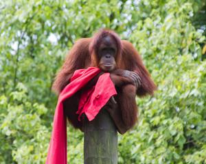 Orangután. Pongo pygmaeus. Zoológico de Santillana del Mar