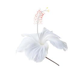white flower isolated on white background