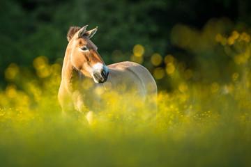 Przewalski horse grazing on a lovely meadow