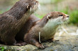 Cute otters - Eurasian otter (Lutra lutra)