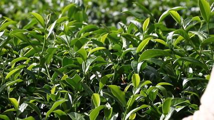 Harvest green tea