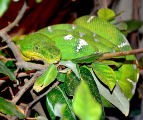 Green Boa Snake