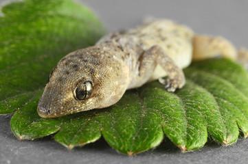 Gecko Lizard and Leaf