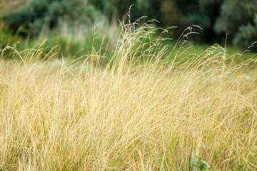 Beautiful meadow with spikelets
