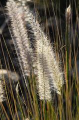Dry Ears Grass