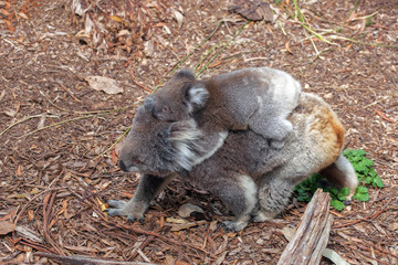 Koala with cub on its back walking on the ground