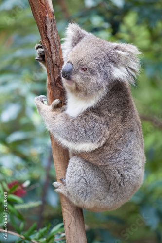 Foto op Plexiglas Koala Portrait of Koala sitting on a branch