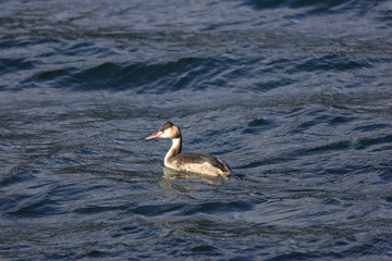 Great Crested Grebe (Podiceps cristatus) in Japan