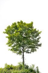 petit arbre isolé sur fond blanc
