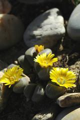 Cactus jaune 7