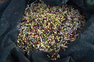 Raccola olive