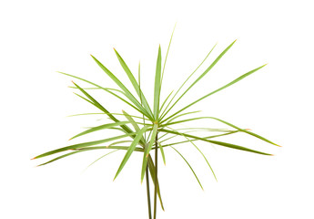 papyrus plant isolated on white