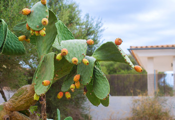 Prickly pears cactus fruits on the backyard.