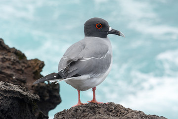 Swallow-tailed Gull on the Galapagos Islands