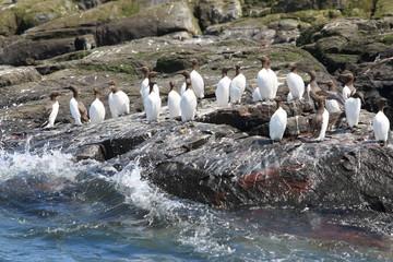uria uccello marino scogliera isole farne scozia mare artico