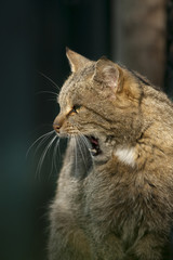 Gapende wilde kat.