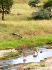 Männchliche Antilopen (Impala, Tsavo) Tarangire River Tansania