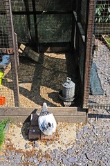 Light Sussex Bantam chicken © Arena Photo UK