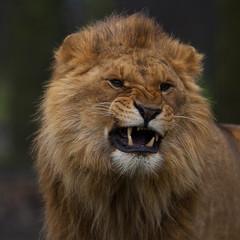Jonge leeuw gromt.