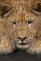 Leeuwenwelp oefent voor de jacht.