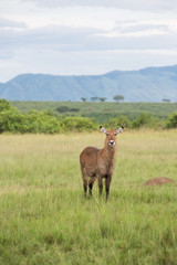 Single antelope in africa