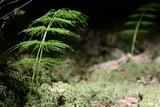 Wood horsetail - Equisetum sylvaticum