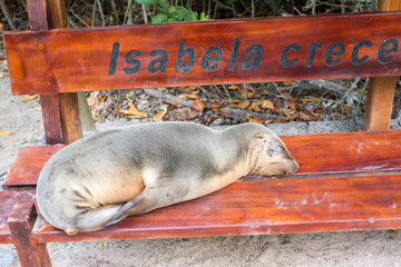 Fur seal relaxing on a bench seat, Galapagos islands
