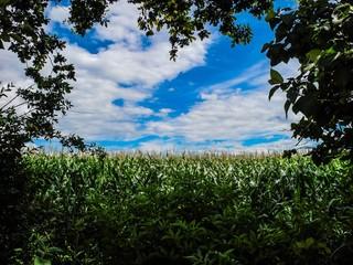 Maisfeld unter weiß-blauem Himmel