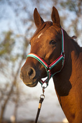 Purebred Mare Horse Head Shot Side View Summertime