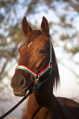 Side view portrait of an beautiful mare hungarian breed gidran