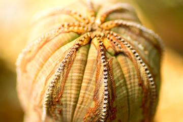 Euphorbia obesa, Euphorbiaceae, South Africa