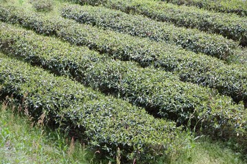 Tea field in Japan
