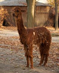 funny fluffy brown alpaca
