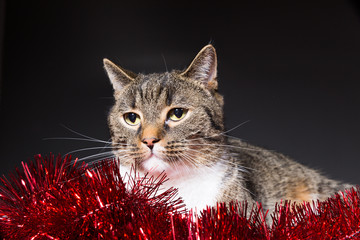 tiger cat between red tree garland and black background
