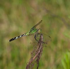 Green bug eater