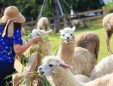 tourist feeding green ruzi grass leaves to llama alpacas in sett
