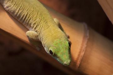 Kleiner Gecko auf Bambus