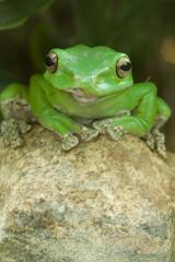 Grüner Frosch auf Stein