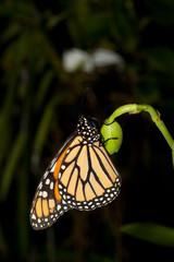 Schmetterling auf Knospe