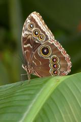 Schmetterling mit Augenflügeln