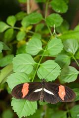 Braun-oranger Schmetterling