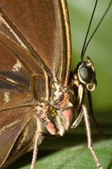 Schmetterlingsmakro