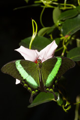 Grüner Schwalbenschwanz