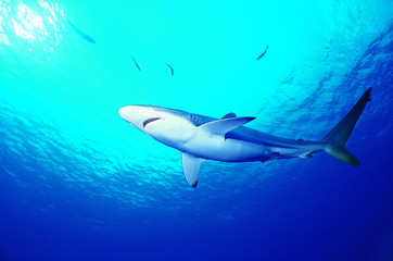 акула ждет приманку