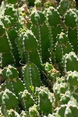 Euphorbia makallensis, Euphorbiaceae, Ethiopia
