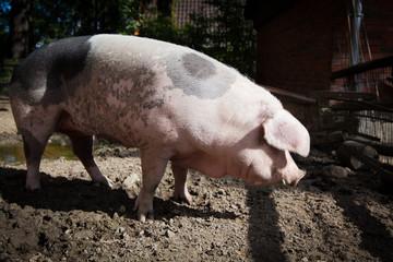big pig on a farm