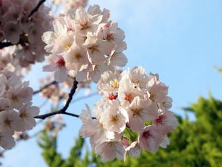 鞠のように咲く桜