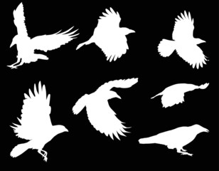 set of seven crow silhouettes isolated on black