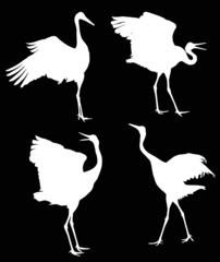 illustration with four dancing white cranes