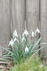 Schneeglöckchen, Galanthus nivalis, Frühblüher, Winterende